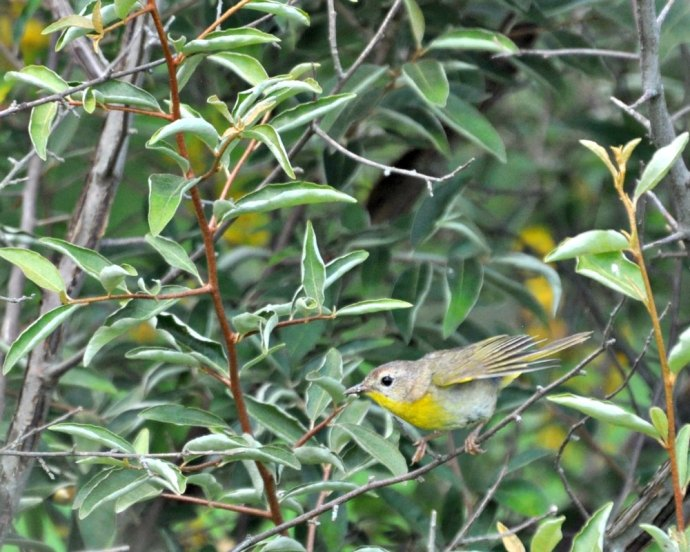 common-yellowthroat-immature