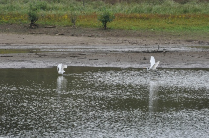 great-egrets-at-south-lick-fork-ramp-patoka